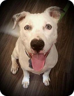 Bulldog Mix Dog for adoption in Paducah, Kentucky - Buddy