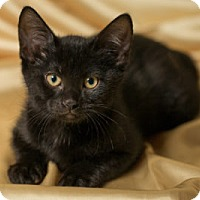 Adopt A Pet :: Breve - Lombard, IL