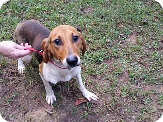 Beagle/Treeing Walker Coonhound Mix Dog for adoption in Clearwater, Florida - Thea
