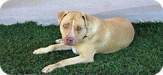 Pit Bull Terrier/American Pit Bull Terrier Mix Dog for adoption in Palm Springs, California - Samson