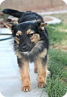 German Shepherd Dog/Sheltie, Shetland Sheepdog Mix Puppy for adoption in Phoenix, Arizona - Phoenix