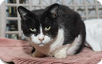 Domestic Shorthair Cat for adoption in Fallbrook, California - Prince