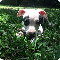 Adopt A Pet :: Dixie - Elgin, IL
