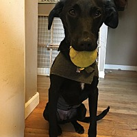 Labrador Retriever/Whippet Mix Dog for adoption in Spokane, Washington - Arlo **READ ENTIRE DESCRIPTION