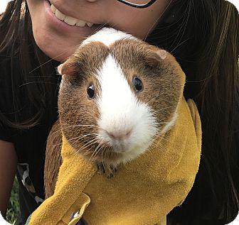 Guinea Pig for adoption in Fullerton, California - Cookie