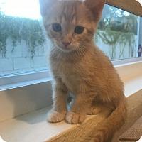 Adopt A Pet :: Cheeto Puff - Glendale, AZ