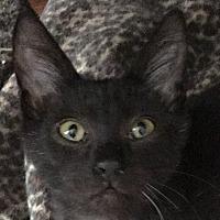 Adopt A Pet :: Noir - Winchester, CA