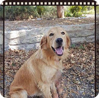 Golden Retriever Dog for adoption in Denton, Texas - Lemonade