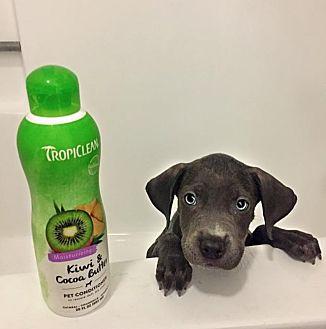 Staffordshire Bull Terrier Mix Puppy for adoption in Tempe, Arizona - Matt