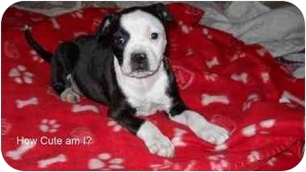 Boston Terrier/Retriever (Unknown Type) Mix Puppy for adoption in Glastonbury, Connecticut - Shelly- new pic and video