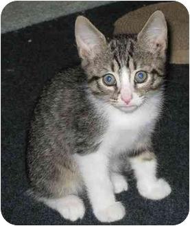Domestic Shorthair Kitten for adoption in Irvine, California - Jimmy