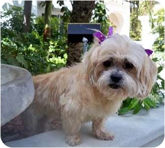 Lhasa Apso Dog for adoption in Los Angeles, California - HARMONEY