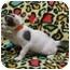 Photo 2 - Domestic Mediumhair Kitten for adoption in Jackson, Michigan - Thing