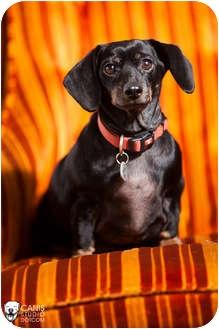 Dachshund Dog for adoption in Portland, Oregon - Zoe