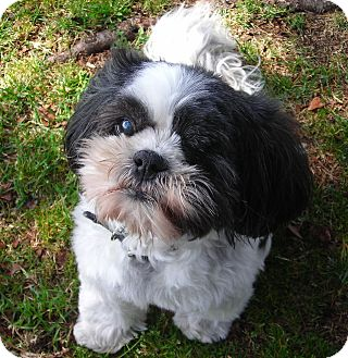 Shih Tzu Dog for adoption in El Cajon, California - Carly