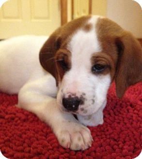 Beagle Mix Puppy for adoption in Richmond, Virginia - Gilligan