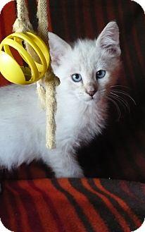Siamese Kitten for adoption in Pueblo West, Colorado - Bettie