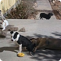 Adopt A Pet :: petie - Lucerne Valley, CA