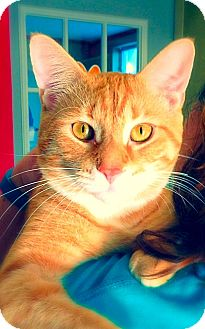 Domestic Shorthair Cat for adoption in Green Bay, Wisconsin - Horatio