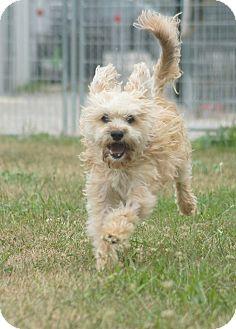 Shih Tzu Mix Dog for adoption in Port Clinton, Ohio - Toasty