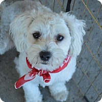 Adopt A Pet :: Duke - Redondo Beach, CA
