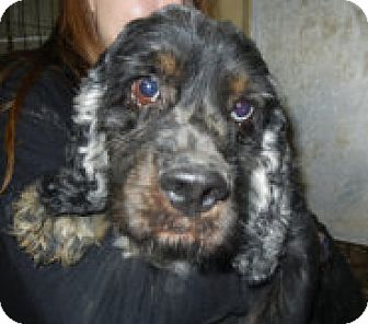 Cocker Spaniel Dog for adoption in Antioch, Illinois - Captain