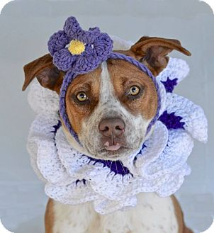 Pointer/American Pit Bull Terrier Mix Dog for adoption in Darlington, South Carolina - Chafin