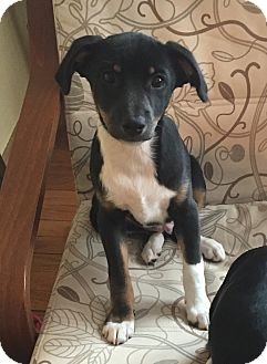 Beagle/Terrier (Unknown Type, Small) Mix Puppy for adoption in Naperville, Illinois - Scout