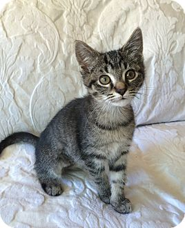 Bengal Kitten for adoption in Nashville, Tennessee - Daphne