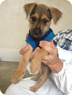 Terrier (Unknown Type, Small) Mix Puppy for adoption in Fort Collins, Colorado - Montie