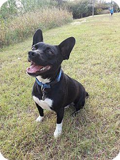 Boston Terrier Mix Dog for adoption in Yukon, Oklahoma - Little Man