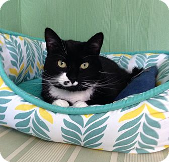 Domestic Shorthair Cat for adoption in Medway, Massachusetts - Missy