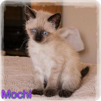 Siamese Kitten for adoption in Arlington/Ft Worth, Texas - Mochi