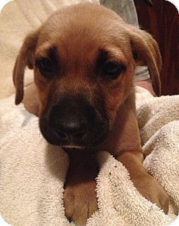 Boxer Mix Puppy for adoption in Waldorf, Maryland - Joey