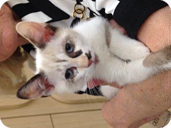 Snowshoe Kitten for adoption in Beaumont, Texas - Dottie