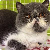 Adopt A Pet :: Nyla - Beverly Hills, CA