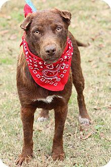Labrador Retriever Mix Dog for adoption in Cranford, New Jersey - Boomer