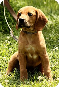 Bloodhound/Treeing Walker Coonhound Mix Puppy for adoption in Washington, D.C. - Aaden