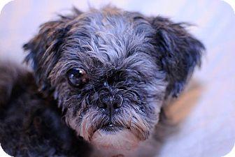 Shih Tzu Dog for adoption in Loveland, Colorado - Zoey