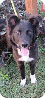 Border Collie Mix Dog for adoption in kennebunkport, Maine - Max - in Maine