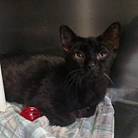 Domestic Shorthair/Domestic Shorthair Mix Cat for adoption in Ashtabula, Ohio - Mistletoe