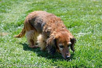 Dachshund Dog for adoption in Anaheim, California - Katie