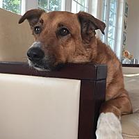 Collie/Australian Shepherd Mix Dog for adoption in Great Falls, Virginia - Sasha