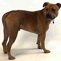 Pit Bull Terrier Mix Dog for adoption in Sanford, Florida - STONEY