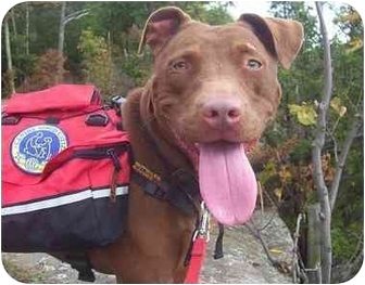 American Staffordshire Terrier/American Pit Bull Terrier Mix Dog for adoption in Howes Cave, New York - Shyann