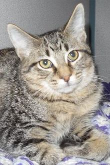 Domestic Shorthair/Domestic Shorthair Mix Cat for adoption in Waupaca, Wisconsin - Peanut