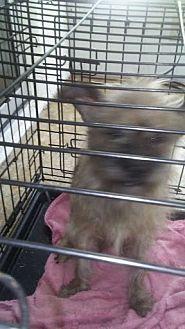 Chihuahua/Shih Tzu Mix Dog for adoption in Holiday, Florida - Max