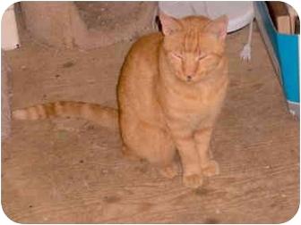 Domestic Shorthair Cat for adoption in El Cajon, California - Firenze