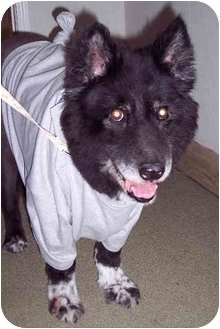Chow Chow/Collie Mix Dog for adoption in Palatine, Illinois - NATALIE