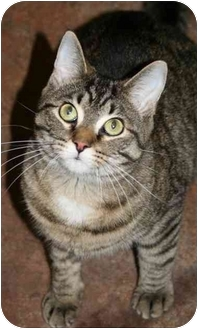 Domestic Shorthair Cat for adoption in Racine, Wisconsin - Mai Tai
